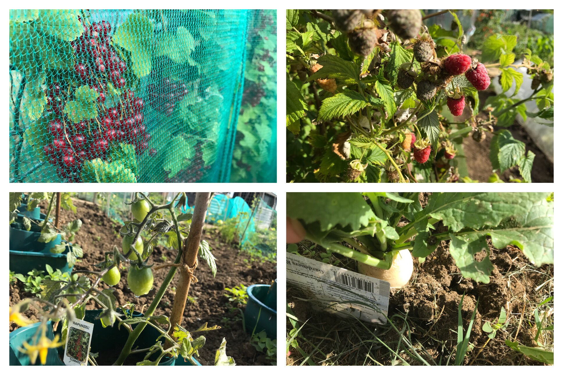 Pictures of plants and fruit ripening. Raspberries, currants, turnips, tomatoes.